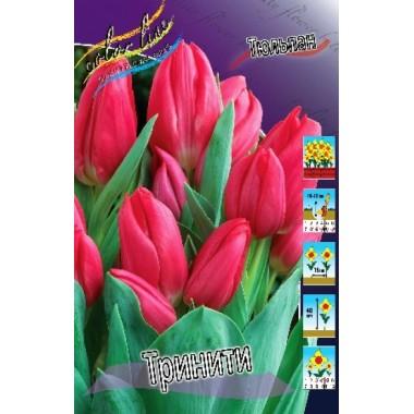 Тюльпан Тринити