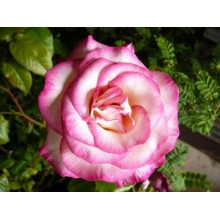 Роза плетистая Гендель