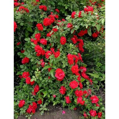 Роза плетистая Ред Рамблер Садовита